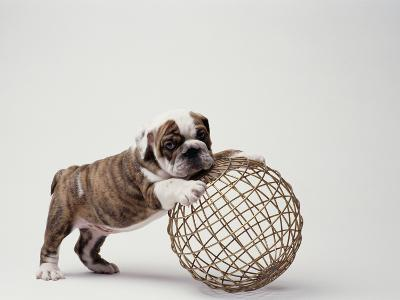 Bulldog Puppy Playing with Metal Sphere