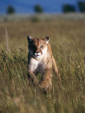 Mountain Lion Running in Field