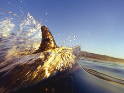 Dolphin Swimming in Ocean