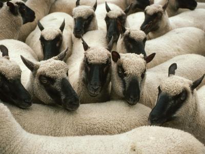 Animals at Findon Sheep Fair