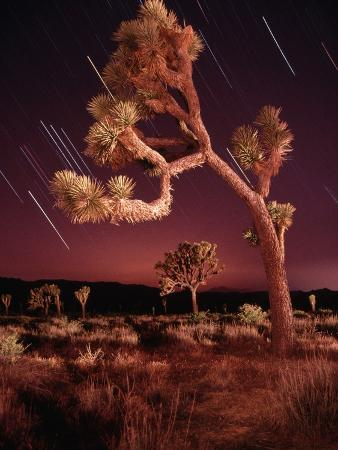 Meteor Trails and Joshua Trees