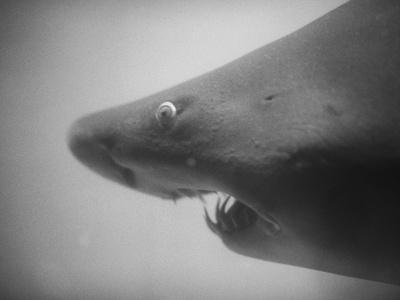 Head of a Shark