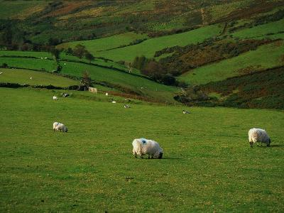 Sheep and Stone Walls in Green Pastures
