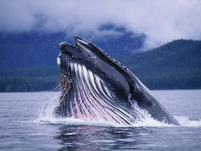 Humpback Whale Feeding in Frederick Sound in Alaska