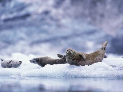 Harbor Seals on Iceberg in Glacier Bay National Park