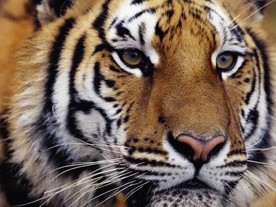 Face of Bengal Tiger