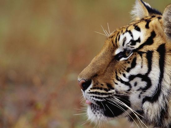 Face Of Bengal Tiger In Profile Photographic Print By W