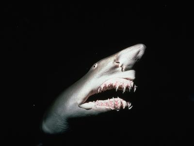 Grey Nurse Shark with Open Mouth