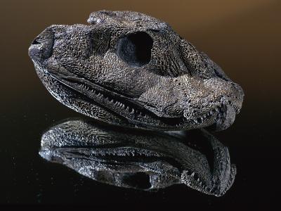Fossil Skull of Ancient Amphibian