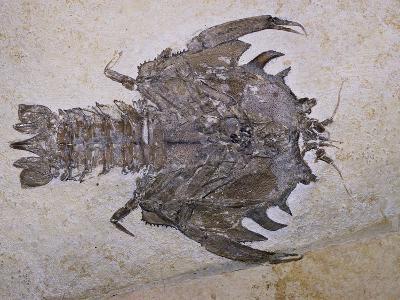 Eryon Arctiformis Crab Fossil