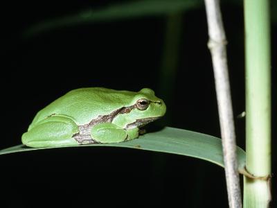 European Green Treefrog