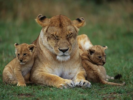 Lioness Resting With Cubs Photographic Print By Joe