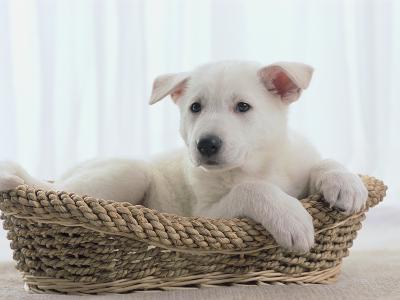 German Shepherd Pup Resting in a Wicker Basket