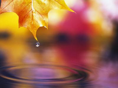 Water Dropping from Maple Leaf