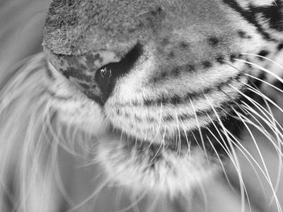 Tiger's Mouth