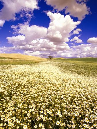 Daisies Covering a Field Under Puffy Clouds