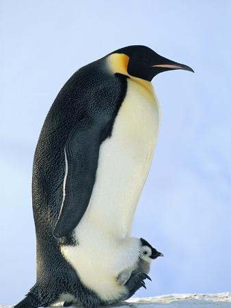 Penguin Chick Warming Under Adult