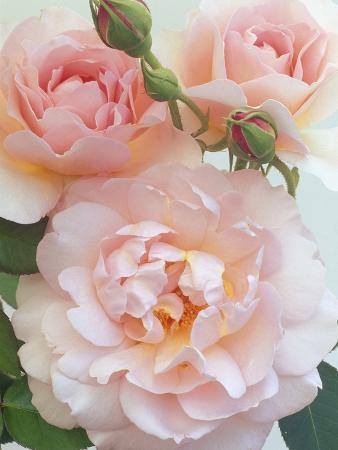 Belle Storey Roses
