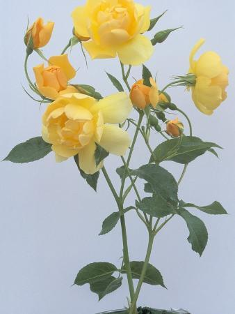 Buttercup Roses
