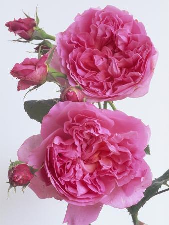 Hilda Murrell Roses