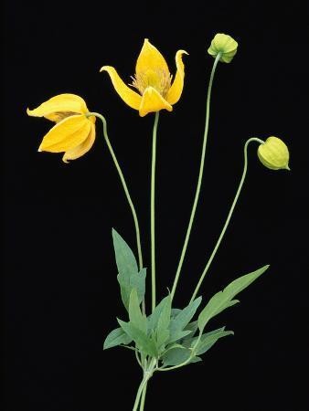 Clematis 'Bill McKenzie' Flowers in Bloom