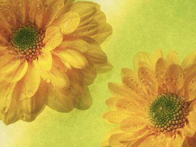 Two Yellow Chrysanthemums