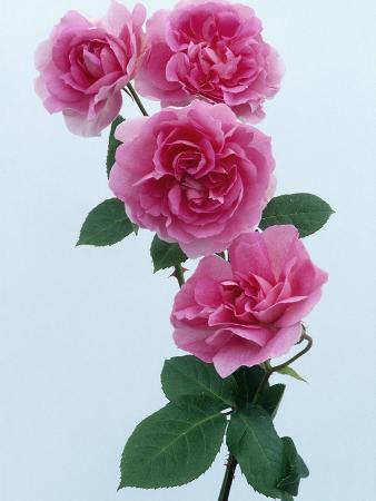 Trevor Griffiths Roses