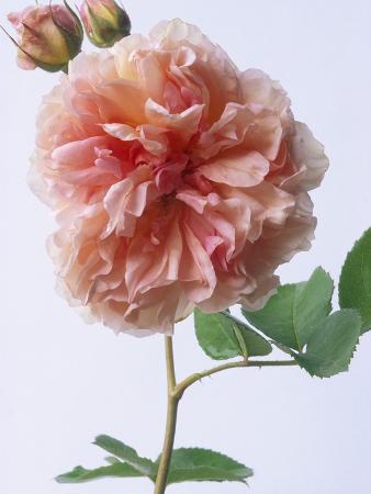 English Elegance Rose