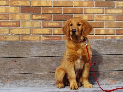 Golden Retriever Puppy on Leash