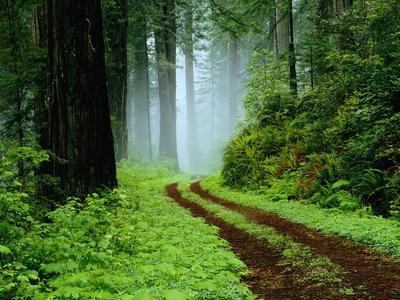 Unpaved Road in Redwoods Forest