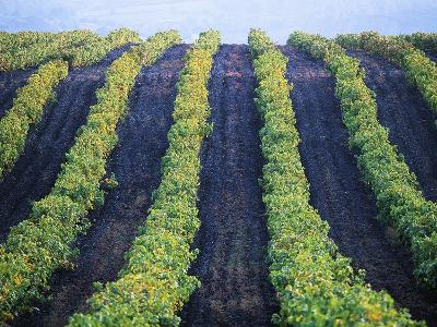 Vineyard of Domaine du Mas Cremat