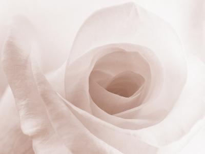 Blooming White Rose