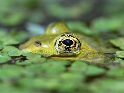 Edible Frog