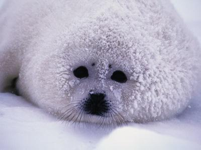 Harp Seal Pup with Snow on Fur