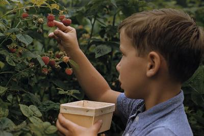 Boy Picking Raspberries