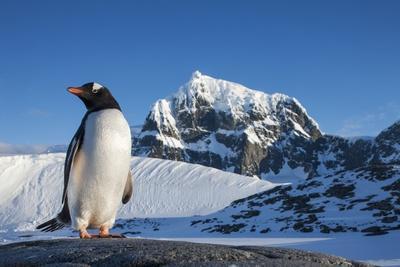 Gentoo Penguin on Anvers Island, Antarctica