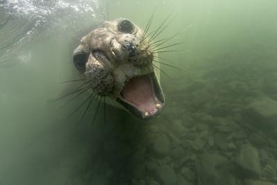 Underwater Elephant Seal, Antarctica