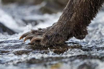 Brown Bear Claws, Katmai National Park, Alaska