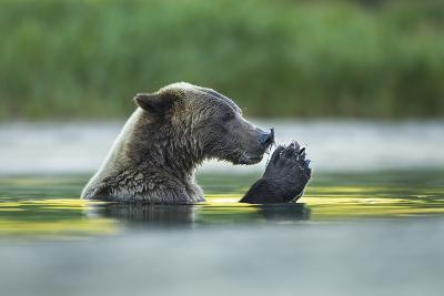 Brown Bear and Salmon, Katmai National Park, Alaska