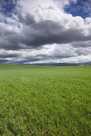 Spring Wheat Field, Walla Walla, Washington