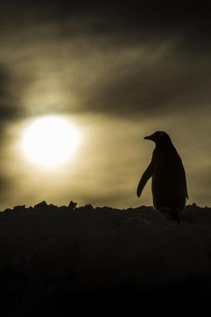 Gentoo Penguin at Sunset, Antarctica