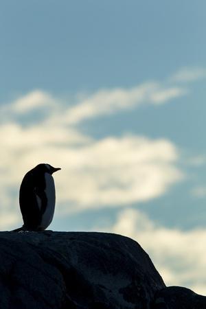 Gentoo Penguin on Wiencke Island, Antarctica