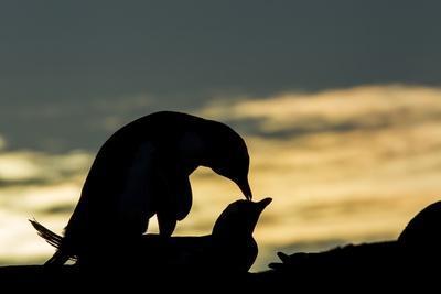 Gentoo Penguins Mating on Wiencke Island, Antarctica