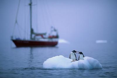 Gentoo Penguins Perching on Small Iceberg
