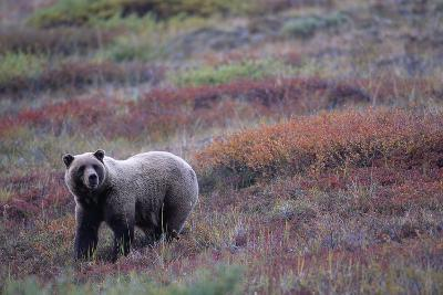 Grizzly Bear on Tundra Near Thorofare Pass