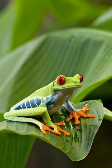 Red Eyed Tree Frog Costa Rica Photographic Print By Paul