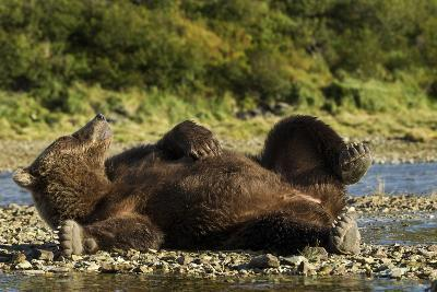 Resting Brown Bear, Katmai National Park, Alaska