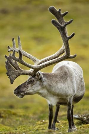 Reindeer, Svalbard, Norway