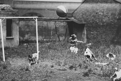 Dogs Playing Soccer