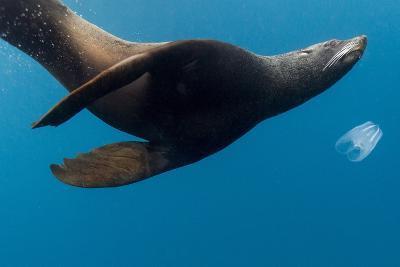 Underwater Sea Lion, Diego Ramirez Island, Chile